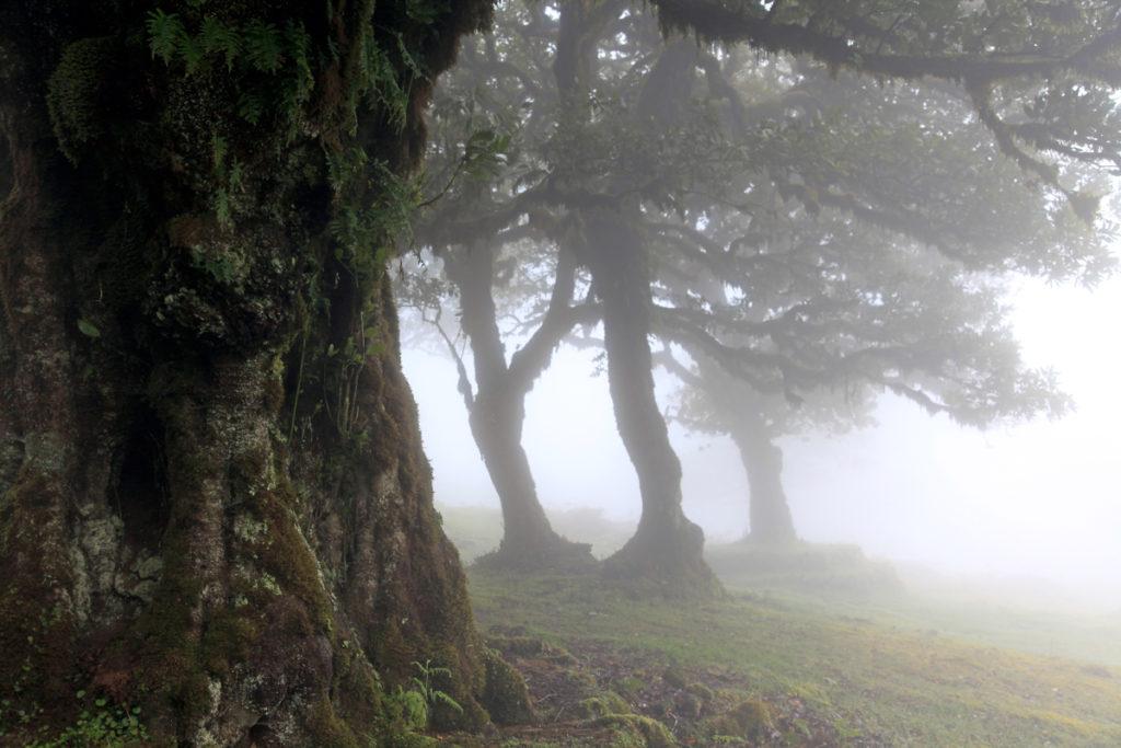 Madeira_Fanal_Nebelwald-10