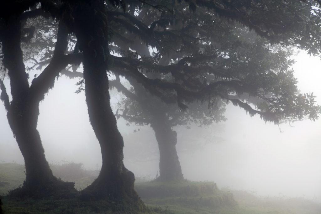 Madeira_Fanal_Nebelwald-11
