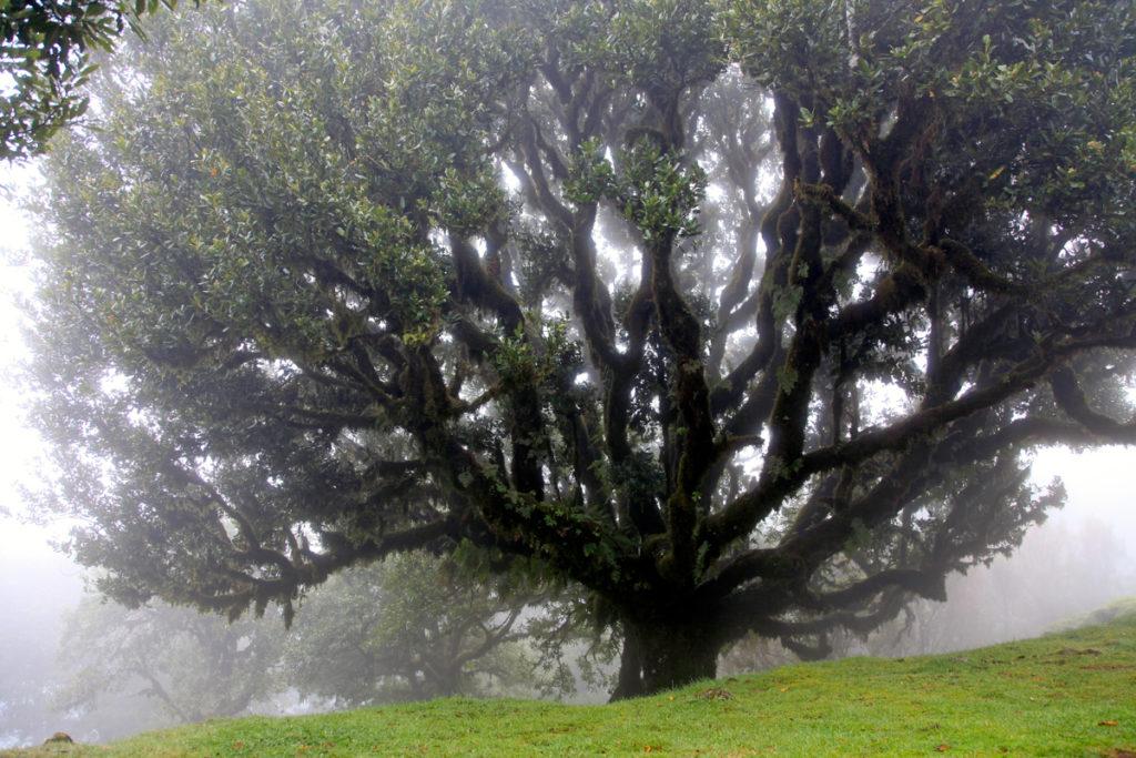 Madeira_Fanal_Nebelwald-14