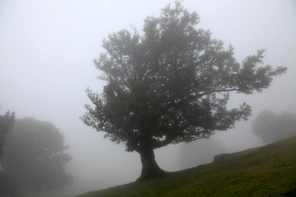 Madeira_Fanal_Nebelwald-6