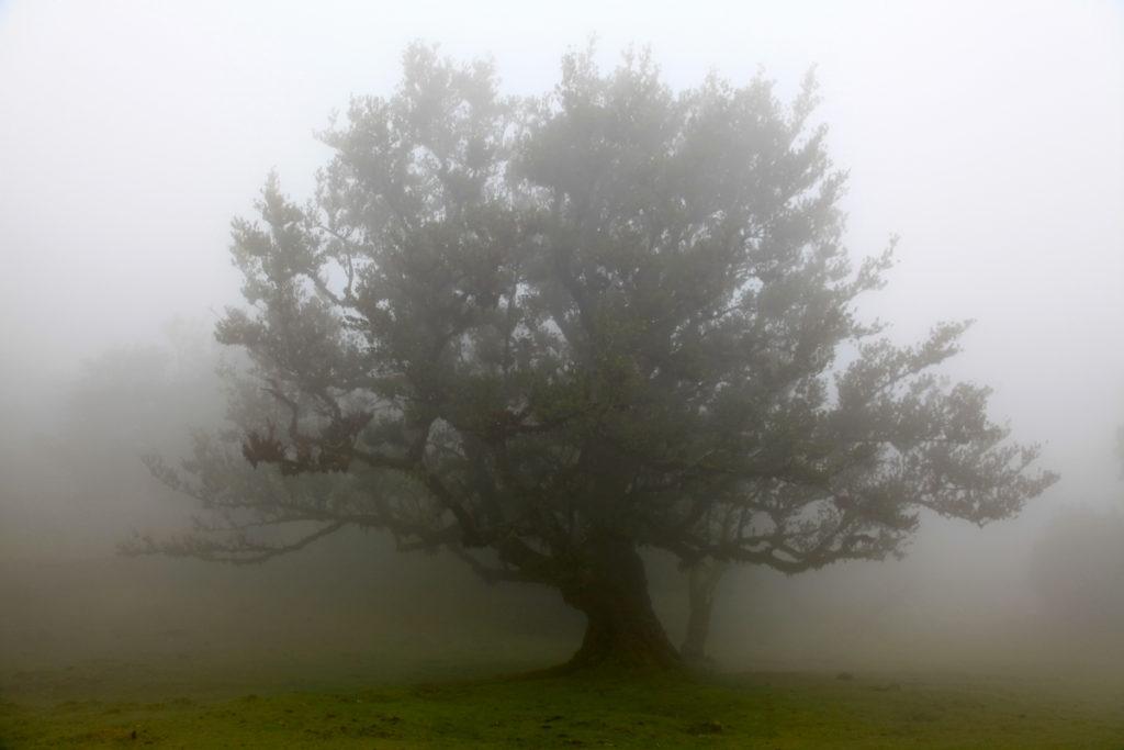 Madeira_Fanal_Nebelwald-8