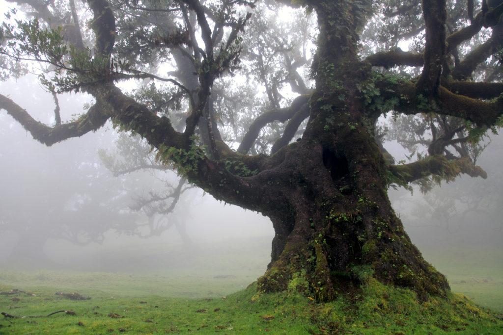 Madeira_Fanal_Nebelwald-9